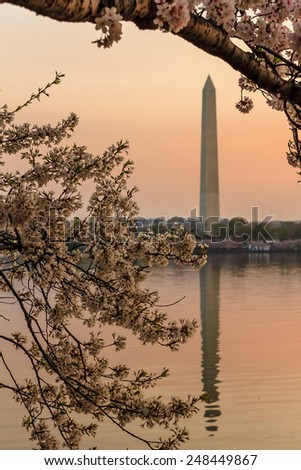 Washington Monument at Sunrise with Cherry Blossoms in Bloom - stock photo