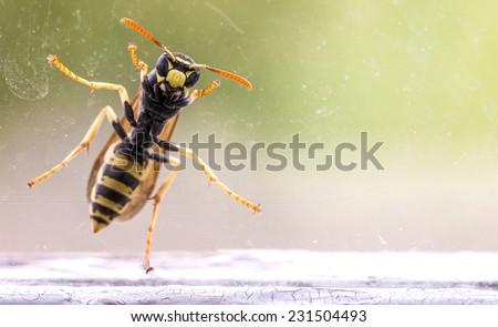wasp at a window, macro photo - stock photo