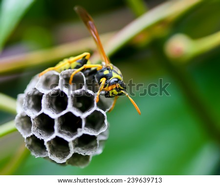 Wasp Building a Nest, Oregon, USA - stock photo