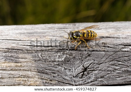 wasp collects nesting material (head left) - stock photo