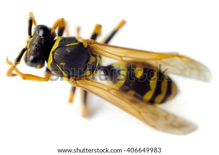 wasp isolated on a white background - stock photo