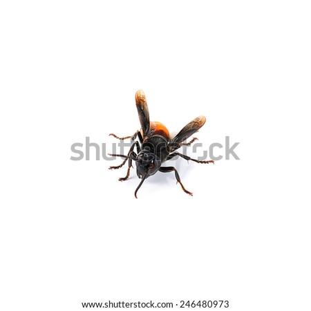 Wasp isolated on white - stock photo