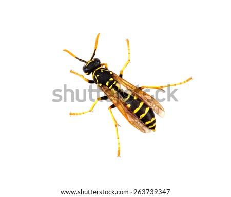 wasp isolated on white background - stock photo