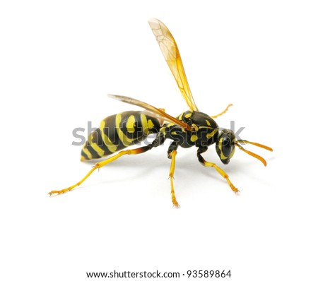 wasp stock  images pictures shutterstock