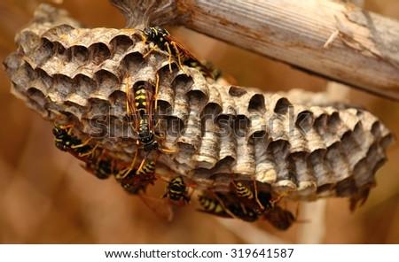 Wasp nest on cane stalk - stock photo