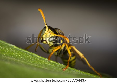 Wasp resting on a leaf in a garden - stock photo