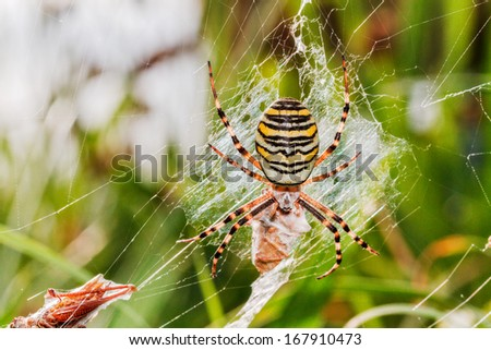 Wasp spider with prey. Macro Picture of a wasp spider in its net with a grasshopper as prey, taken in northern Bavaria, Germany - stock photo