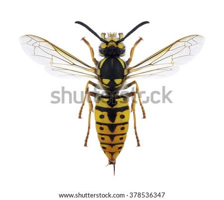 Wasp Vespula germanica (female) on a white background - stock photo