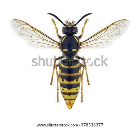 Wasp Vespula vulgaris (female) on a white background - stock photo
