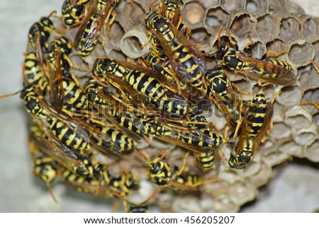 Wasps polist. The nest of a family of wasps which is taken a close-up. - stock photo