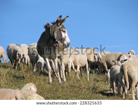 Watch donkey in great flock with thousands of sheep - stock photo