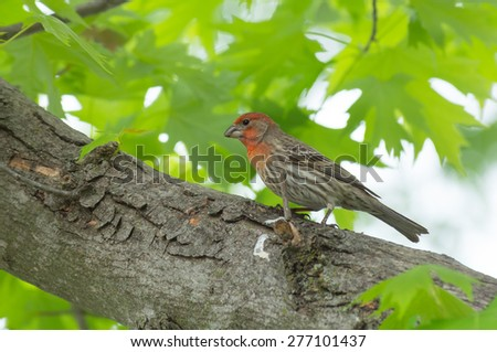 Watchful house finch in a maple tree. - stock photo