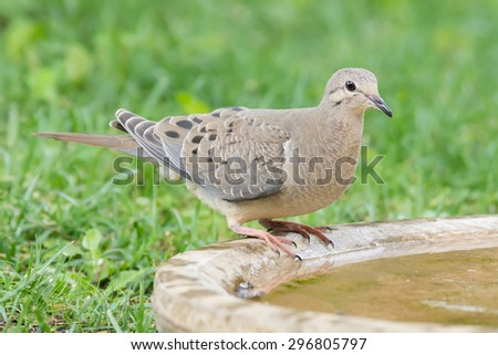 Watchful mourning dove at the bird bath. - stock photo