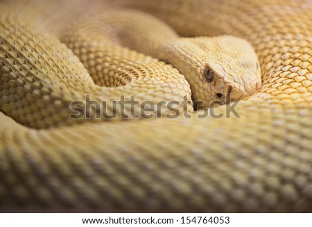 Watchhful Albino Western Diaomnd Back Rattlesnake - stock photo