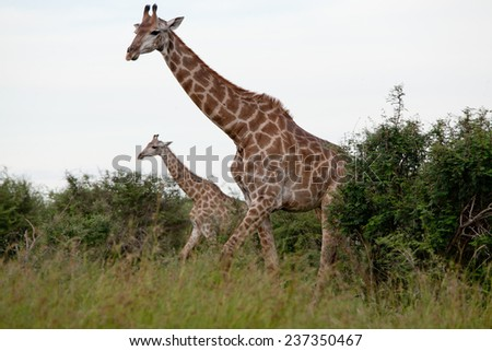 Watching Giraffe. South Africa, Kruger National Park. - stock photo