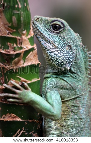Water agama - stock photo
