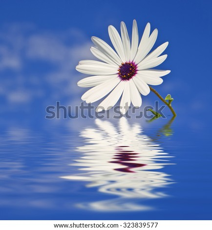 water and daisy - stock photo