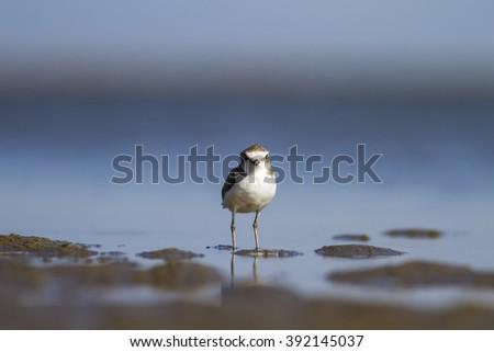 water bird Kentish Plover / Charadrius alexandrinus - stock photo