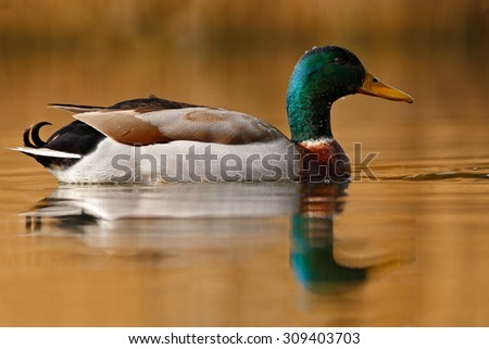 Water bird Mallard, Anas platyrhynchos, with reflection in the water - stock photo