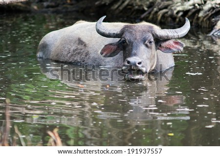 Water Buffalo, Indonesia, Asia - stock photo