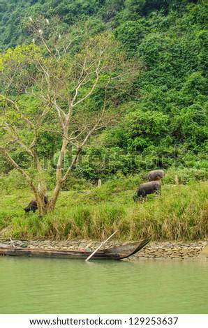 Water buffaloes and wooden boat, Phong Nha-K? B�ng National Park, Vietnam - stock photo