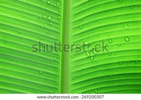 water drop on banana leaf - stock photo