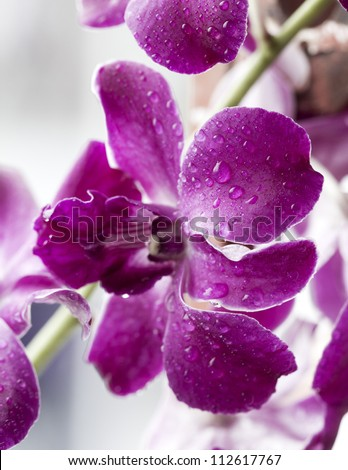 water drop on beautiful purple orchid after rain - stock photo