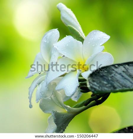 Water drop on Frangipani flower. Spa concept. - stock photo