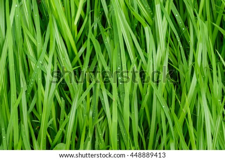 water drop on green grass in the rain texture nature background - stock photo