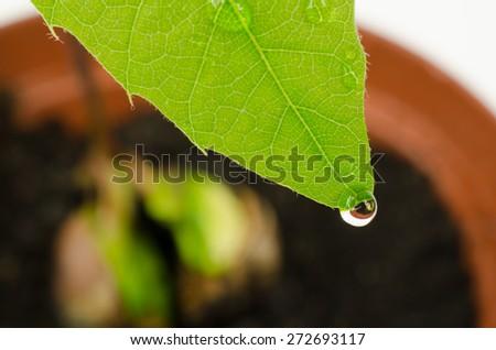 water drop on seedling (red oak) - stock photo
