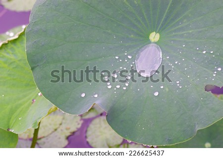 water drop on the lotus leaf - stock photo