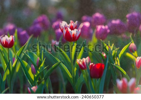 Water drop on tulip's in garden background - stock photo