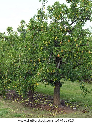 Water droplets cling to a bumper crop of pears, in trees heavy with fruit in the orchard. - stock photo