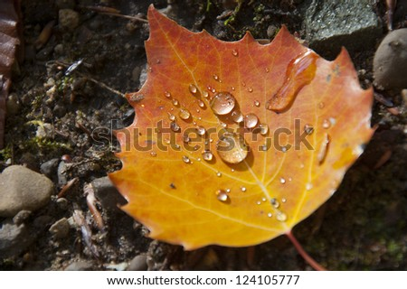 Water droplets collected in autumn leaf - stock photo