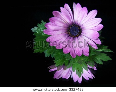 water droplets on a purple gerbera daisy with mirror reflection on black - stock photo