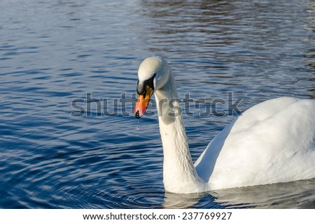 Water dropping from a swan's beak - stock photo