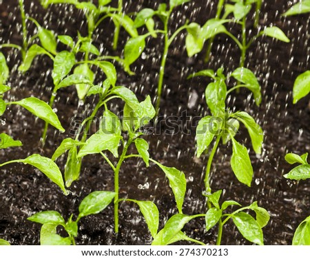 Water drops falling on plants Agriculture and gardening concepts - stock photo