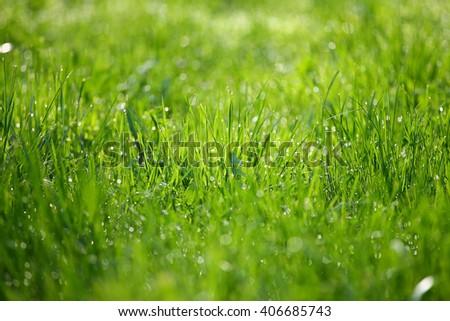 Water drops Fresh grass morning - stock photo