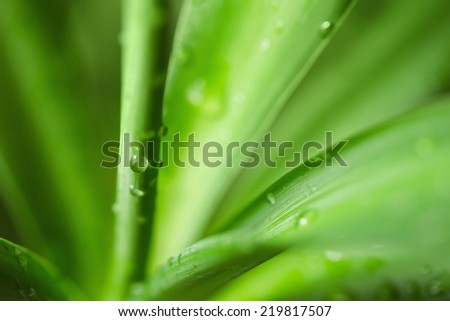 Water drops on an green yucca leaves - stock photo