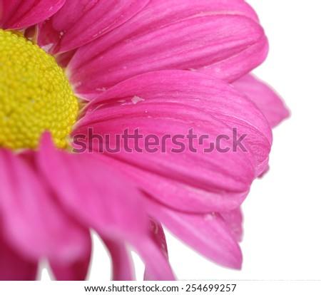 Water drops on chrysanthemum petals, close-up - stock photo