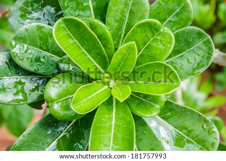 Water drops on fresh green leaves in the garden. - stock photo