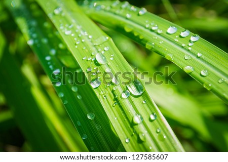 Water drops on lemongrass in the morning - stock photo