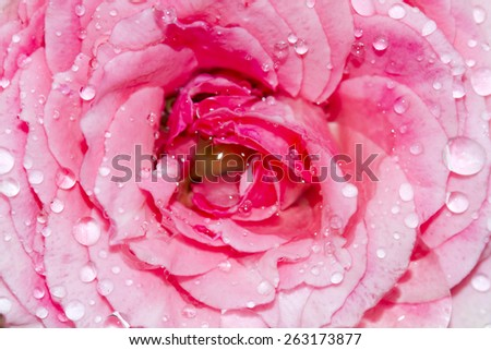 Water drops on roses, with a depth of sharpness different,Rose on the Branch in the Garden, soft focus - stock photo