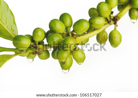 water drops on unripe coffee beans - stock photo