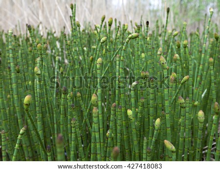 Water horsetail (Equisetum fluviatile) colony at spring - stock photo
