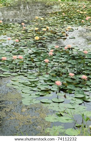 Water lilies in the pond - stock photo