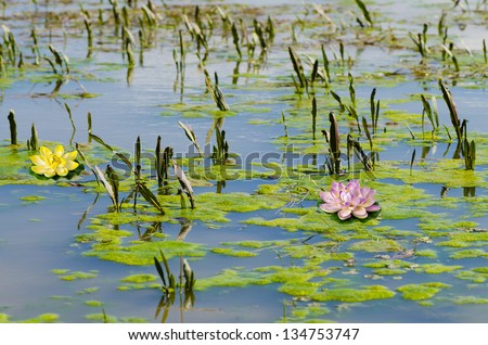 Water lilly blossoms in summer day - stock photo