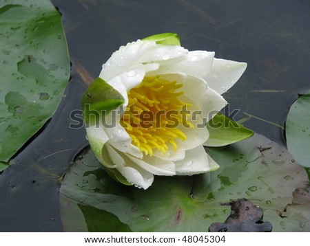 water lilly bud - stock photo