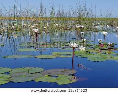 water lilly in Okavango delta,Botswana - stock photo