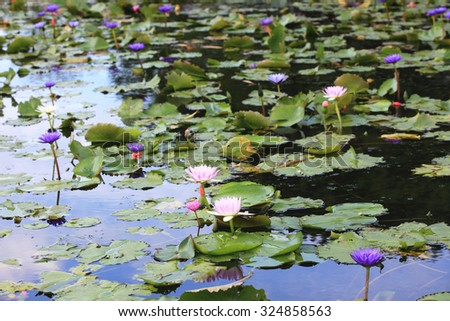 Water Lily and green leaves,beautiful pink and purple flowers blooming in the pond in autumn - stock photo